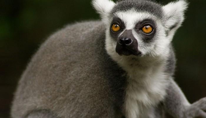 lemur-543442_1280